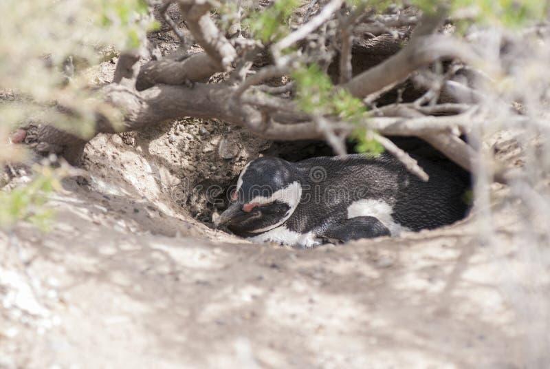 Magellanic pingwin Punta Tombo Patagonia zdjęcia stock