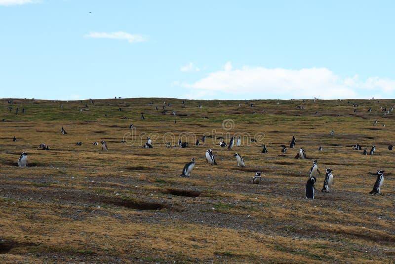 Magellanic pingwinu kolonie na Isla Magdalena Punta Arenas zdjęcie stock