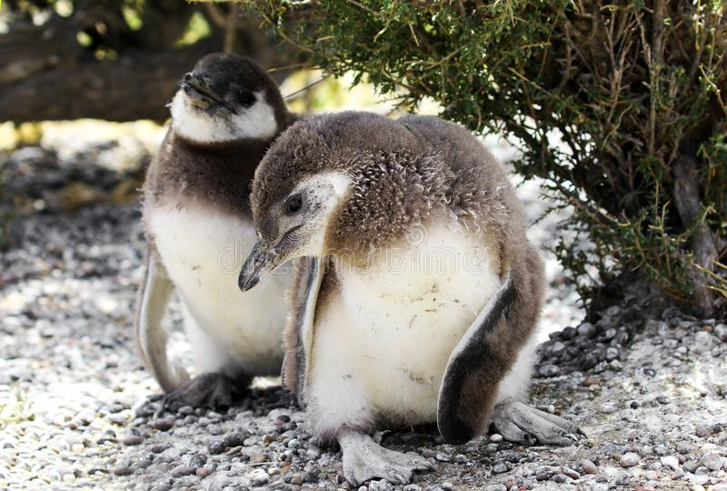 Magellanic pingwinu kurczątka przy Punta Tombo rezerwą, jeden wielki w świacie, Argentyna obrazy stock