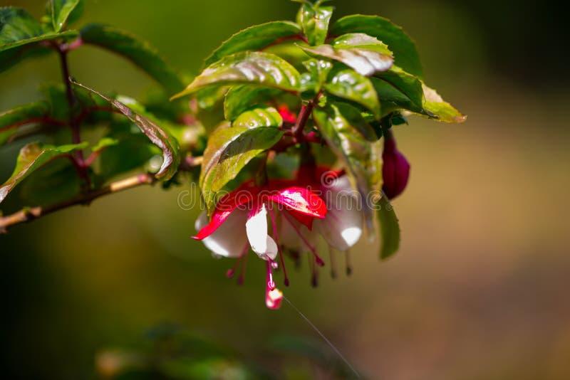 Magellanica fucsia, signora Cornelissen, macro colpo, nel giardino, molla fotografie stock
