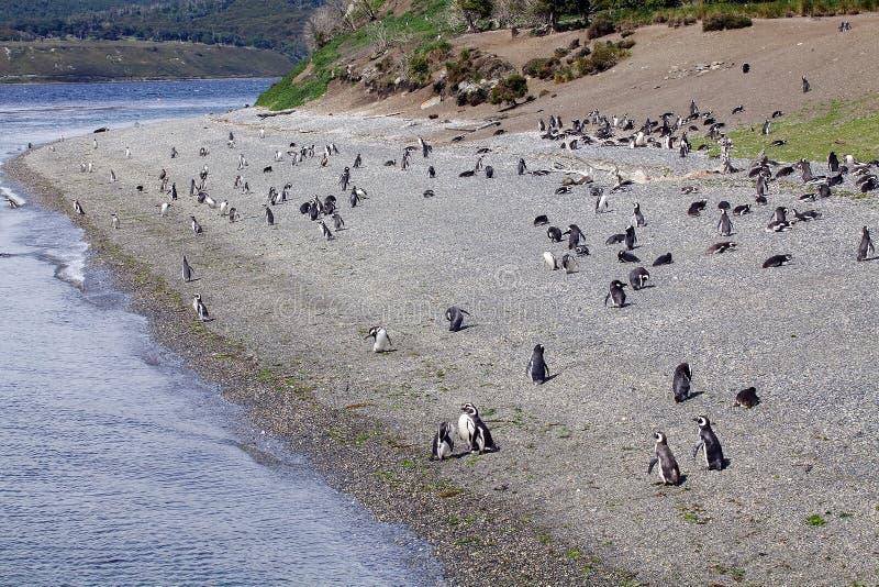 Magellanicpinguïn op het strand in het eiland in Brakkanaal, Argentinië royalty-vrije stock foto's