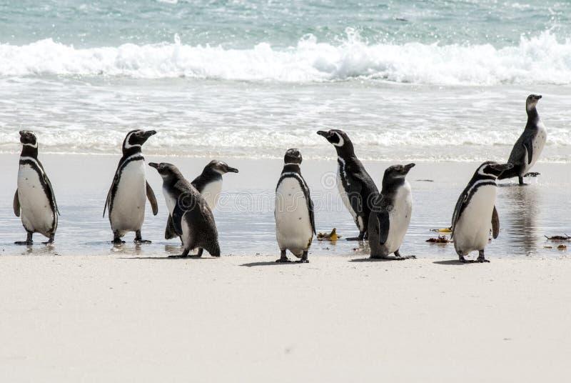 Download Magellanicpinguïnen Op Het Strand Stock Foto - Afbeelding bestaande uit eilanden, gedrag: 39115834