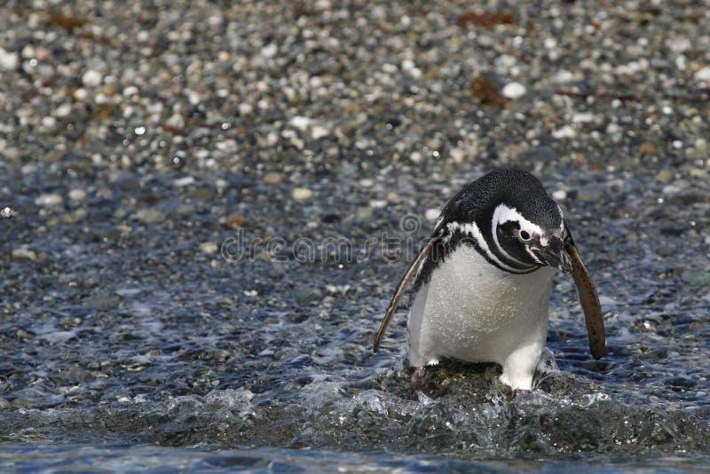 Magellanicus de Spheniscus de pingouin de Magellan sur Tucker Island patagonia chile images libres de droits