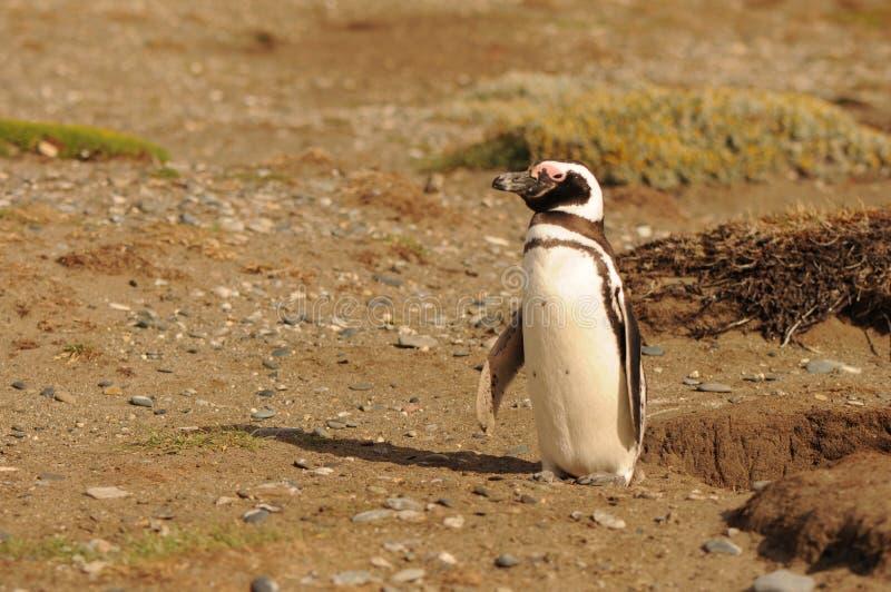 Magellanicus do Spheniscus, pinguim de Magellanic apenas na praia onde fazem seus ninhos perto do mar Patagonia, Argentina imagem de stock