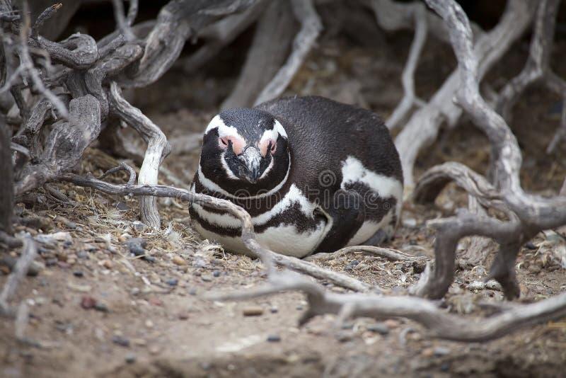 Magellanicus spheniscus пингвина Magellanic на Punta Tombo в Атлантическом океане, Патагонии, Аргентине стоковые фотографии rf