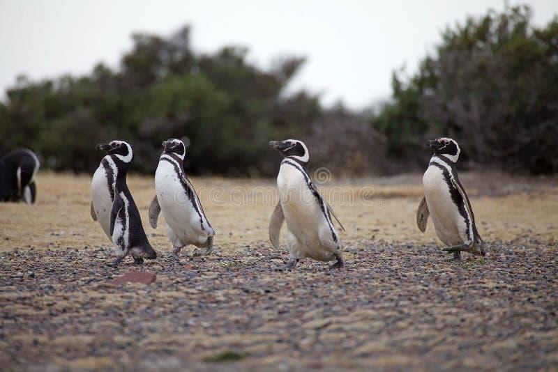 Magellanicus spheniscus пингвинов Magellanic на Punta Tombo в Атлантическом океане, Патагонии, Аргентине стоковые изображения