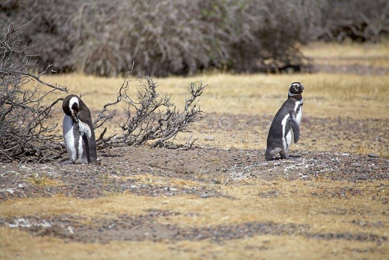 Magellanicus spheniscus пингвинов Magellanic на Punta Tombo в Атлантическом океане, Патагонии, Аргентине стоковые фотографии rf