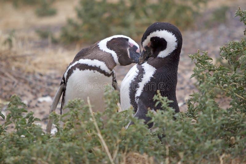 Magellanicus spheniscus пингвинов Magellanic на Punta Tombo в Атлантическом океане, Патагонии, Аргентине стоковое изображение rf