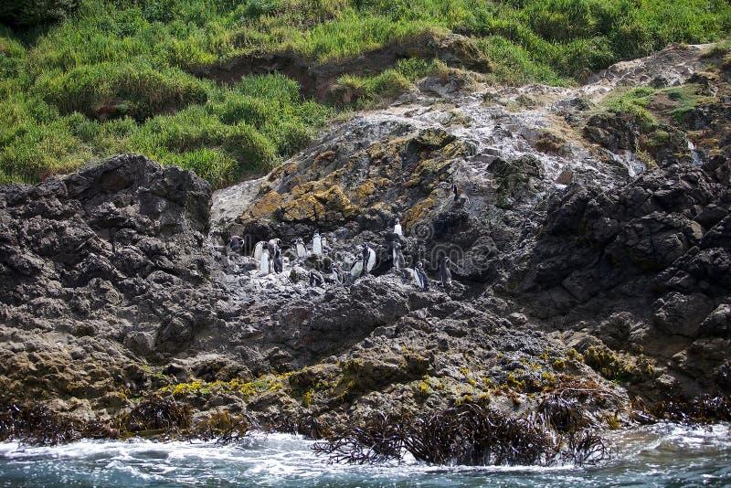Magellanicus spheniscus пингвинов Magellanic стоковая фотография