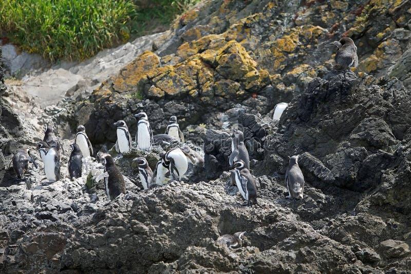 Magellanicus spheniscus пингвинов Magellanic стоковое изображение rf