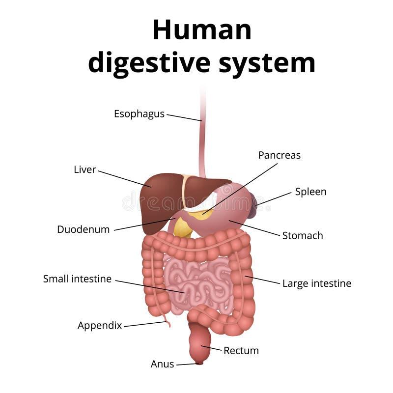 Magen-Darm-Trakt-Organe vektor abbildung. Illustration von diagramm ...