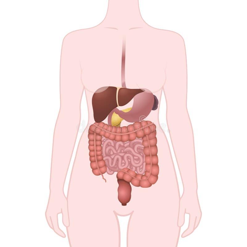 Magen-Darm-Trakt-Organe vektor abbildung. Illustration von baumuster ...