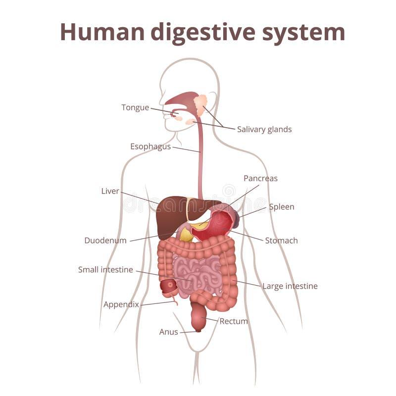 Groß Magen Darm System Ideen - Anatomie Ideen - finotti.info