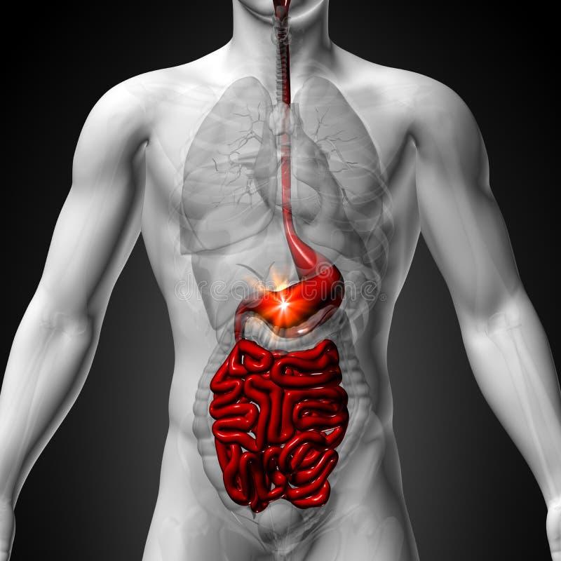 Magen/innanmäte/lilla Interstine - manlig anatomi av mänskliga organ - x-ray sikt vektor illustrationer