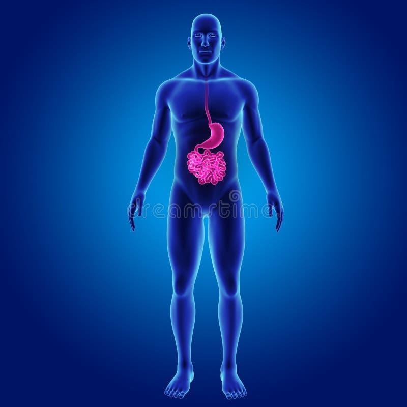 Magen Und Dünndarm Mit Körpervorderansicht Stock Abbildung ...
