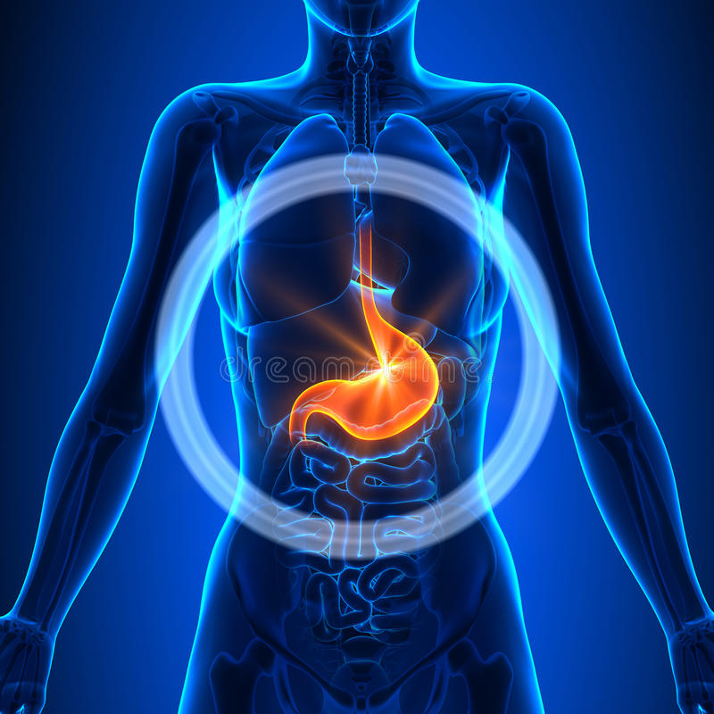 Magen - Weibliche Organe - Menschliche Anatomie Stock Abbildung ...