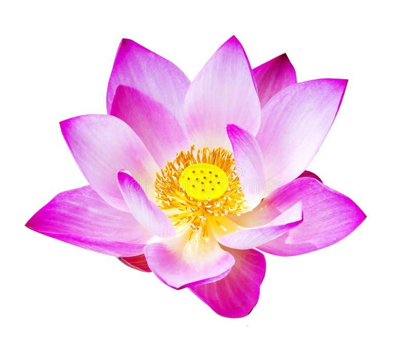 Magenta изолированные цветки лотоса стоковая фотография