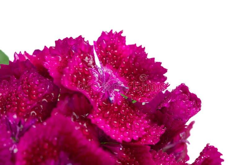 Magenta сладостный макрос цветков Вильяма (гвоздики Barbatus) на белой предпосылке стоковая фотография