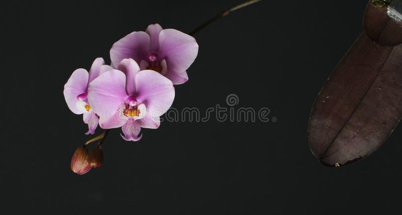 Magenta фаленопсис цветения на правильной позиции темной розовой орхидеи o стоковое фото