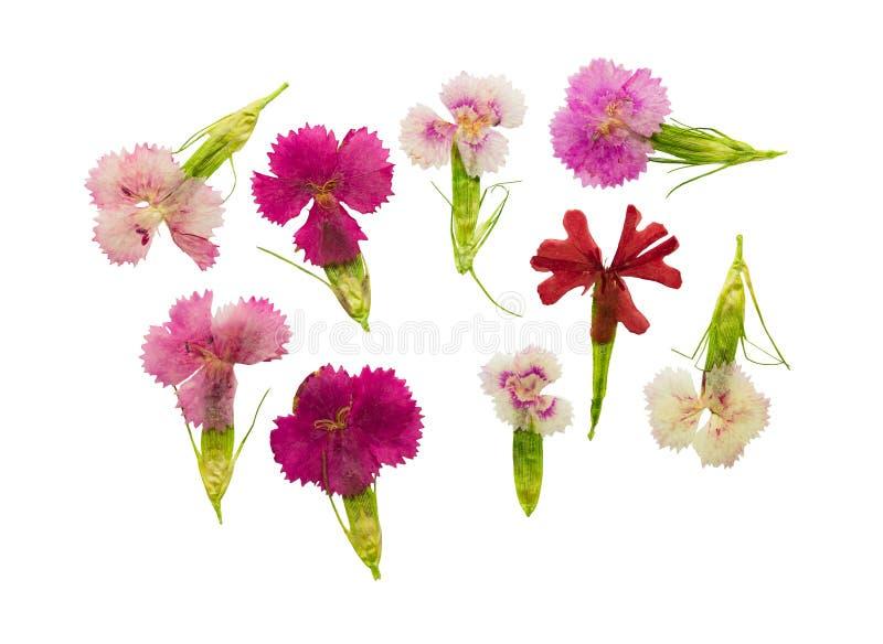 A magenta ajustada pressionada e secada floresce vagabundos do cravo-da-índia de doce-william imagem de stock