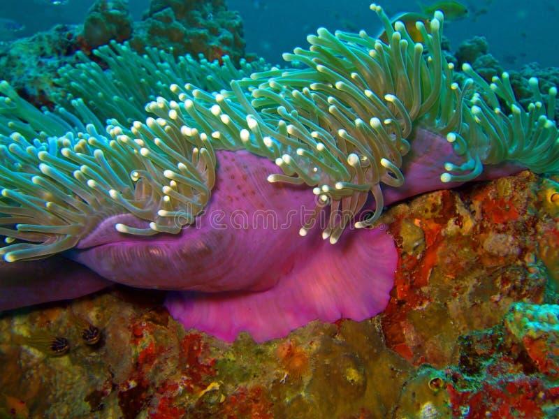 Magenta anemone. Andaman sea. Similan islands. Macro magenta anemone royalty free stock image