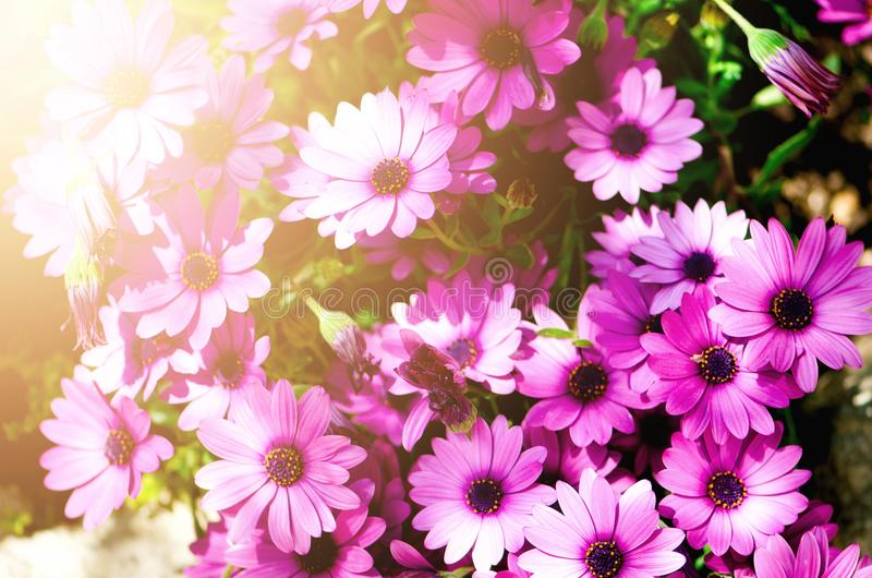 Magenta bicolour, pericallis hybrid background. Violet and purple flowers. Copy space. Blossom spring, exotic summer royalty free stock photo