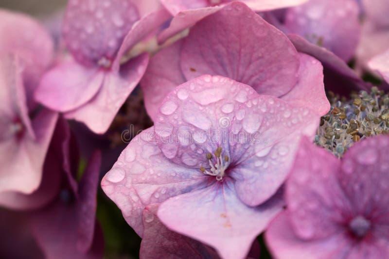 Magenta bloemen met Dauwdalingen stock afbeeldingen