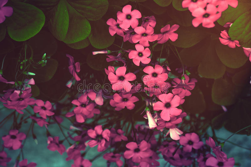 Magenta blossoms royalty free stock photos