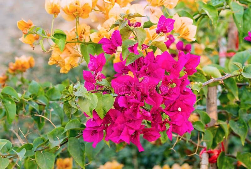 Magenta Bougainvilleabloemen stock afbeelding