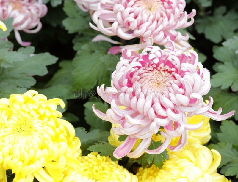 Magenta chrysant, rgb adobe stock foto
