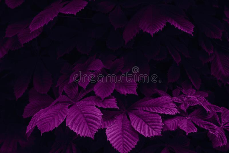 Magenta colored abstract nature scene. Hornbeam leaves in a dark forest. Creative design concept stock photo