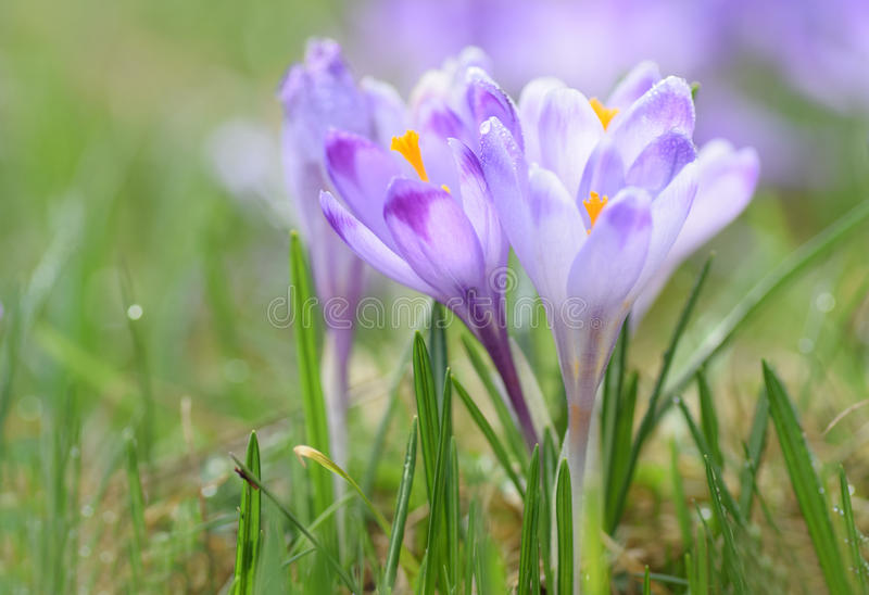 Magenta crocus flower blossoms at springtime. With green grass royalty free stock images