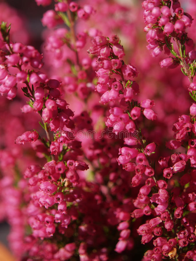 Free Magenta Floral Background Royalty Free Stock Images - 11630529