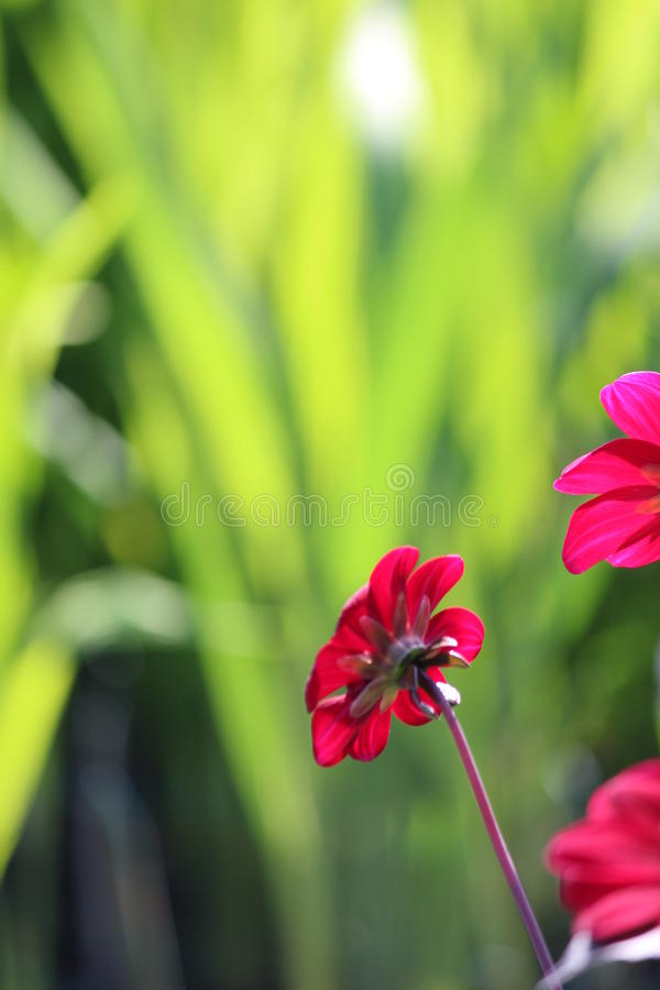 Magenta Flower Against Lime Green Background. royalty free stock image