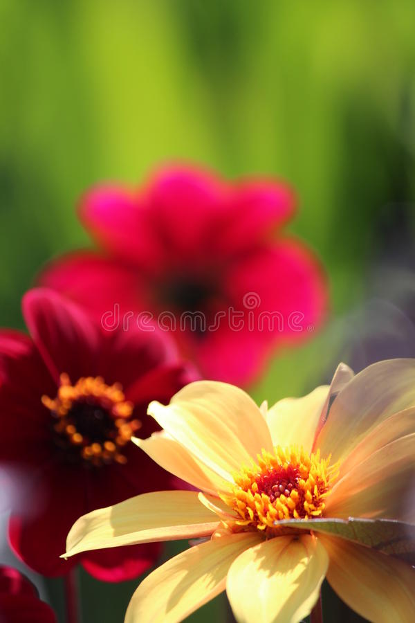 Magenta Flower Against Lime Green Background. royalty free stock images