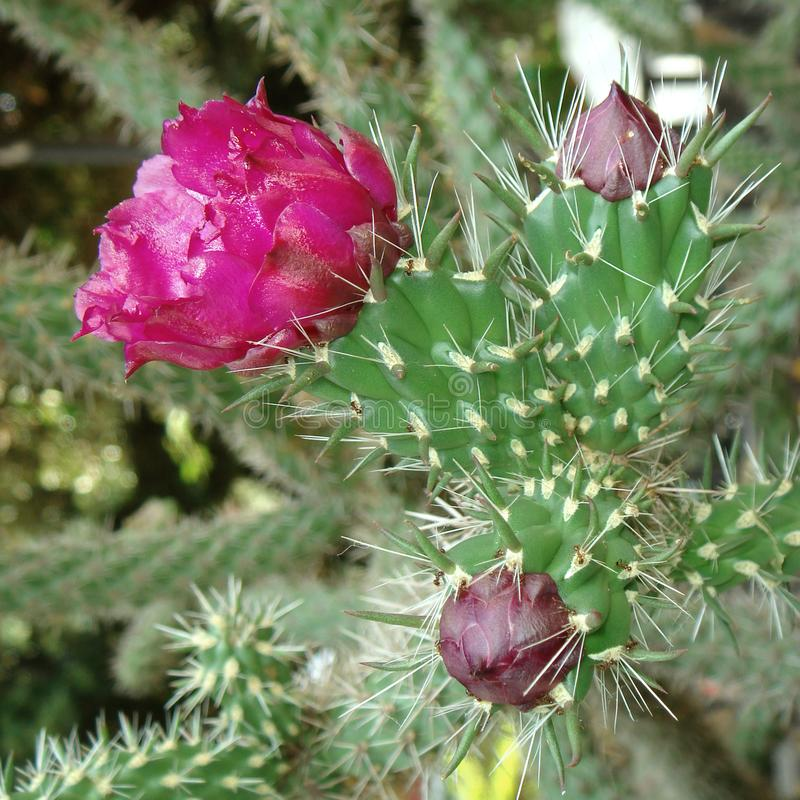 Cylindropuntia imbricata with magenta flower royalty free stock photo