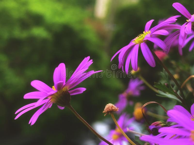 Magenta flowers blooms in spring royalty free stock photography