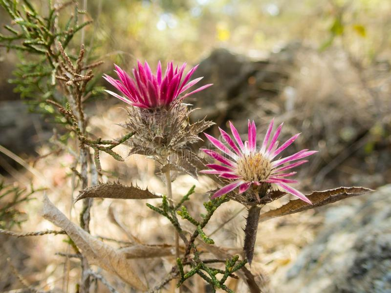 Magenta flowers on dry terrain in Akamas, Cyprus. Colourful flowers with magenta petals growing on dry terrain in Akamas, Cyprus royalty free stock image