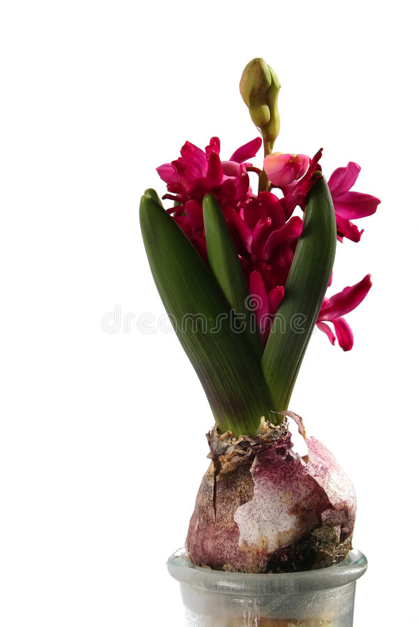 Magenta hyacint royalty-vrije stock foto