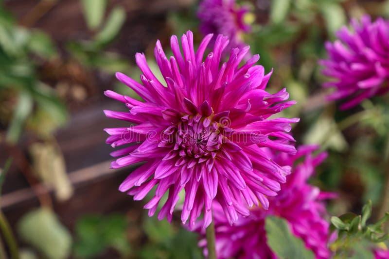 Magenta Kleur Dalia Flower In The Park royalty-vrije stock foto's