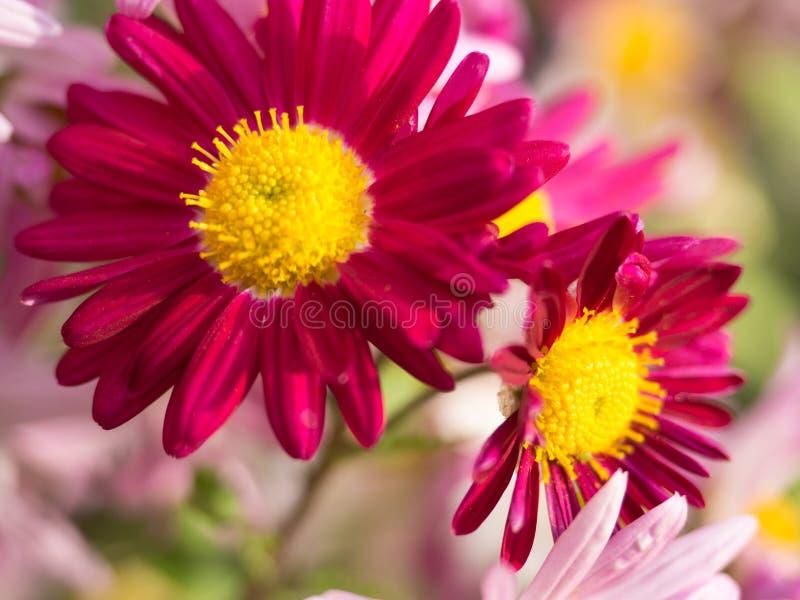 Magenta Mums-Bloemen in het Park stock afbeelding