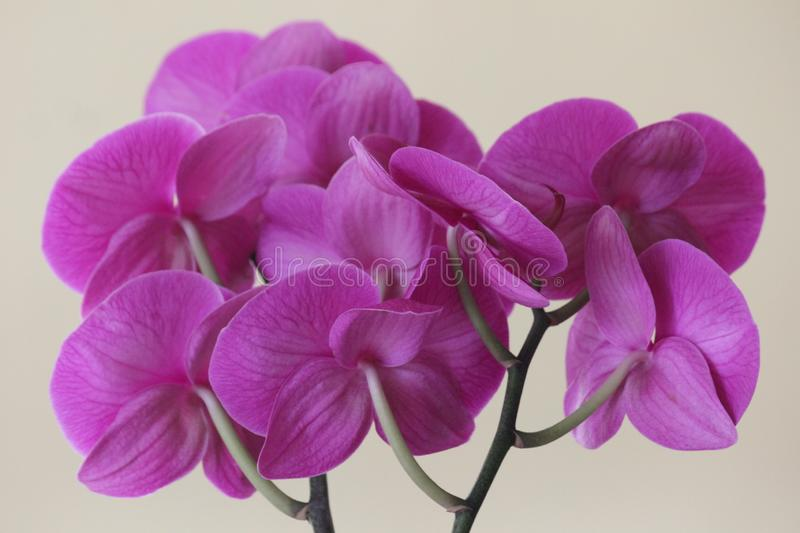 Magenta orchids from the back side. Magenta orchids from the back and in groups live in tropical environments - photographed indoors royalty free stock photography