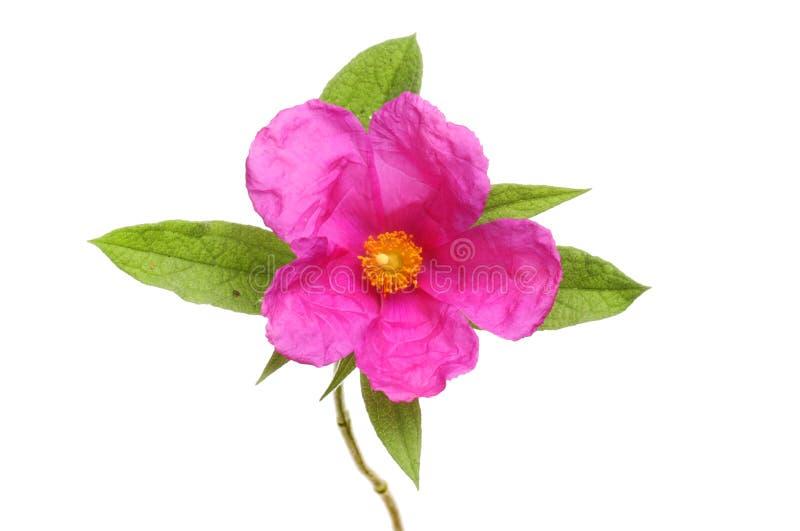 Magenta skały róży kwiat obraz royalty free
