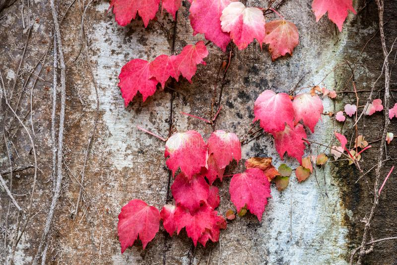 Magenta spadków liście zakrywa betonową ścianę obraz stock