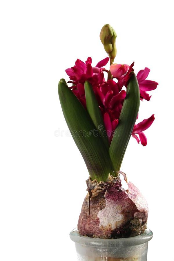 magentafärgad hyacint royaltyfri foto