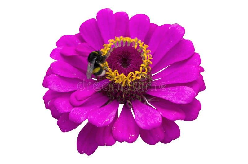 Magentarote Blume des eleganten Zinnia mit der Hummel lokalisiert auf Weiß stockbild