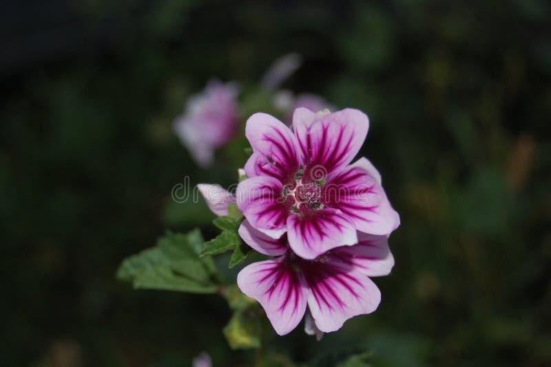 magentarote Erbstockroseblüte lizenzfreies stockfoto