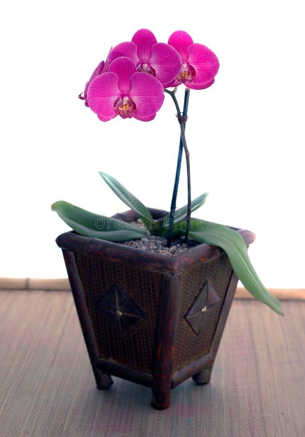 Magentarote Orchidee (Phaleonopsis) stockfotos