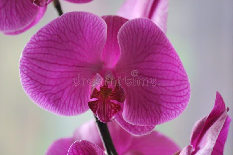 Magentarote Orchideenblumen mit erstaunlichen Beschaffenheiten stockbild