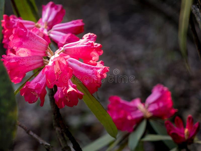 Magentarote Rhododendren stockbilder